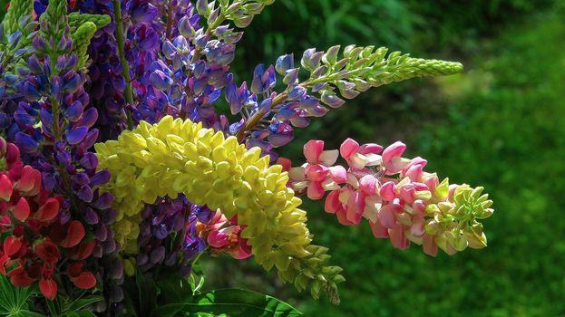 Фото бесплатно цветы, люпин, букет