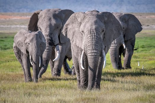 Photo free A small herd of elephants, Amboseli national Park, Kenya