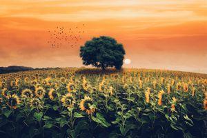 Бесплатные фото закат,поле,подсолнухи,дерево,цветы,природа,пейзаж
