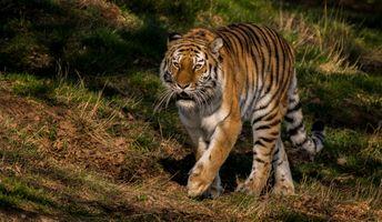 Фото бесплатно животное, Panthera tigris altaica подвид тигра, Amur tiger