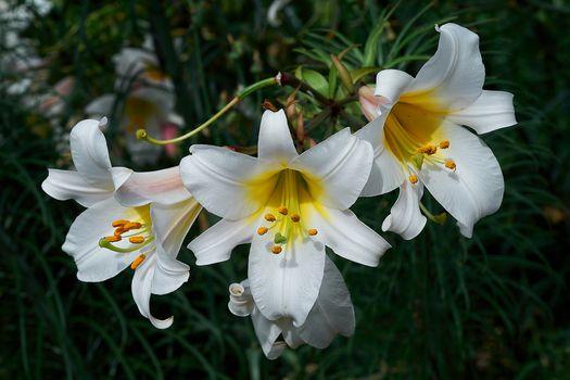 Фото бесплатно Лилия, флора, цветы
