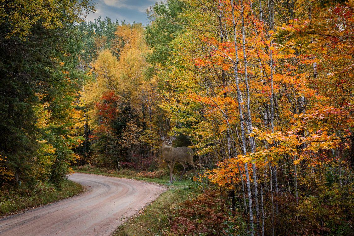 Фото бесплатно осень, лес, дорога, деревья, олень, природа, краски осени, пейзаж, осенние листья, пейзажи