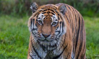 The Amur tiger in Russia