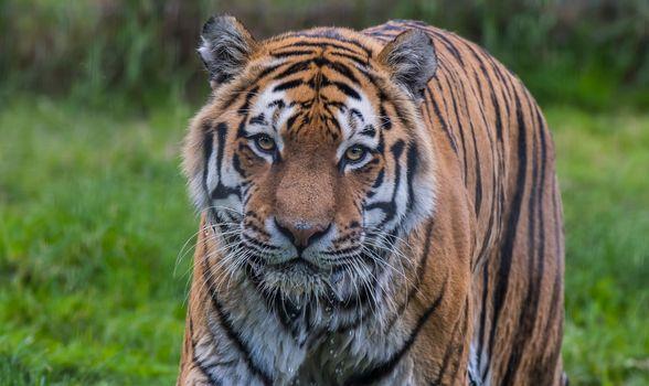 Амурский тигр в России · бесплатное фото