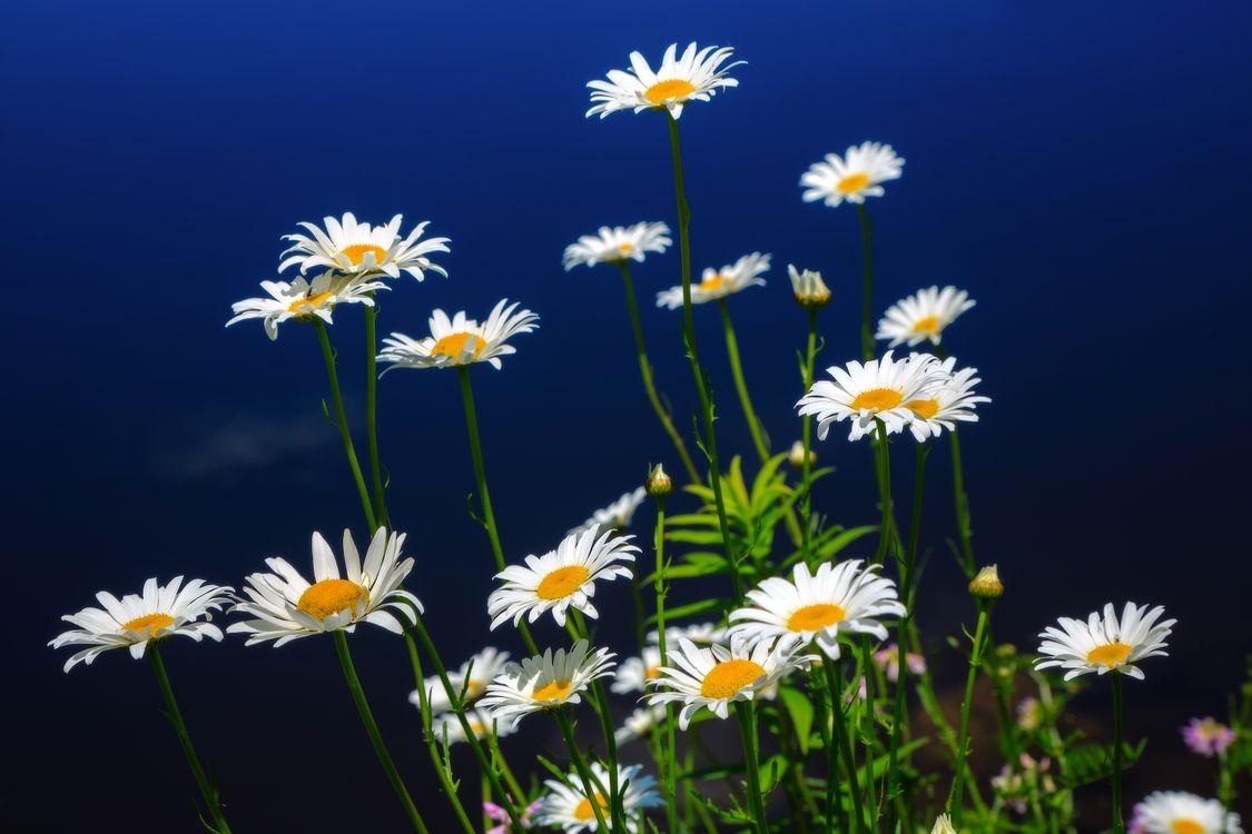 Фото бесплатно цветы, ромашки, полевые цветы, поле, флора, макро, цветы