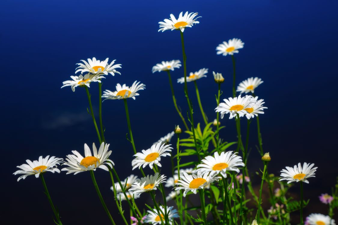 Photos for free flowers, daisies, field flowers - to the desktop