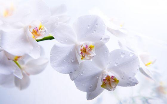 Фото бесплатно капли, цветы, орхидея