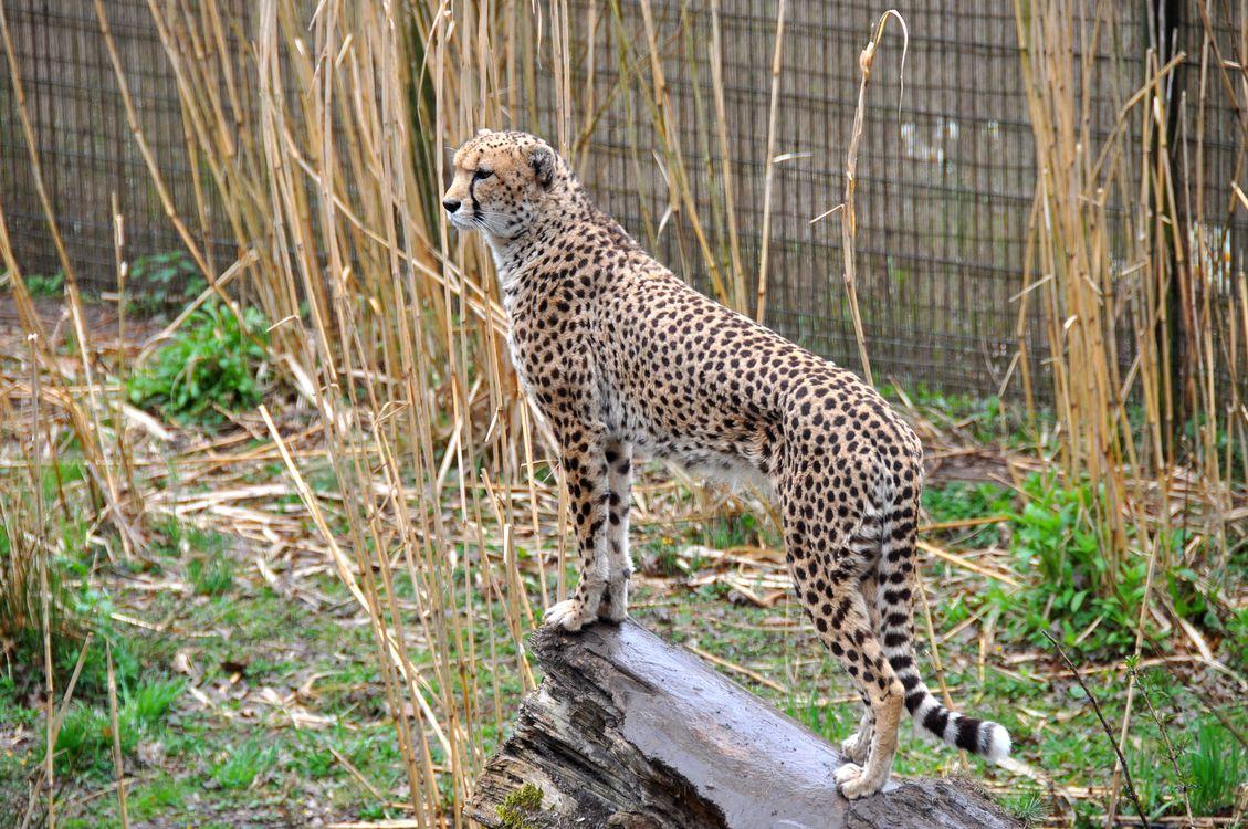 Фото бесплатно Cheetah, Chester Zoo, England - на рабочий стол