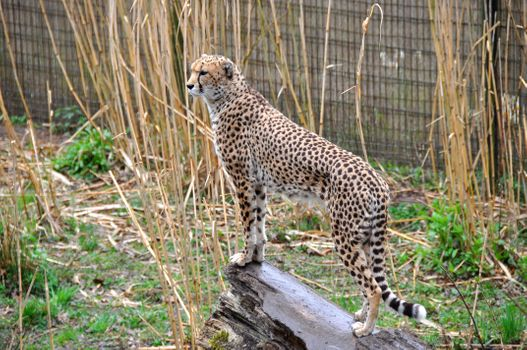 Photo free Cheetah, Chester Zoo, England