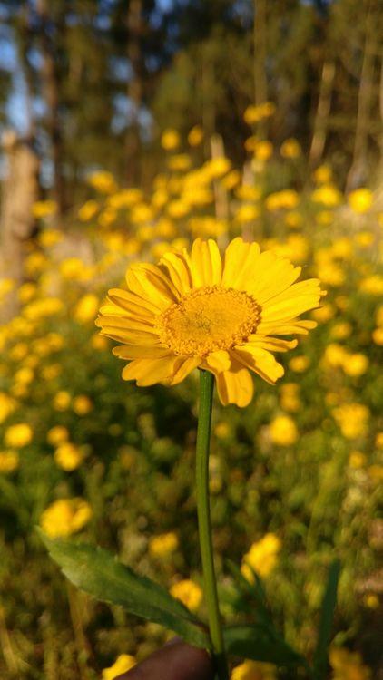 Фото бесплатно цветы, желтые цветы, поле - на рабочий стол