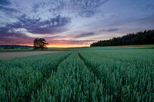 Бесплатные фото закат,поле,колосья,деревья,природа,пейзаж