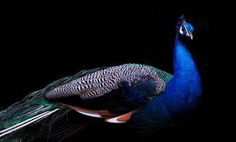 Бесплатные фото Blue,and,Brown,Peacock,павлин