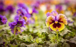 Заставки Виола, многолетнее травянистое декоративное растение, цветы