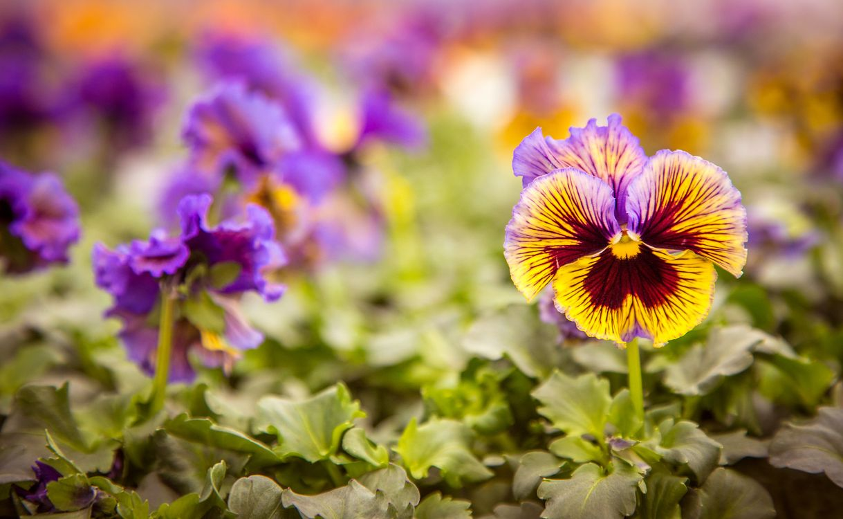 Free photo Viola, a perennial herbaceous ornamental plants, flowers - to desktop