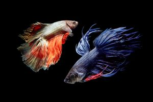 Бесплатные фото Бойцовая рыбка,Аквариумная рыбка петушок,чёрный фон
