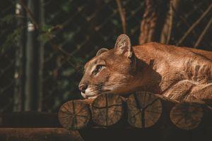 Фото бесплатно лев, животные, лежит