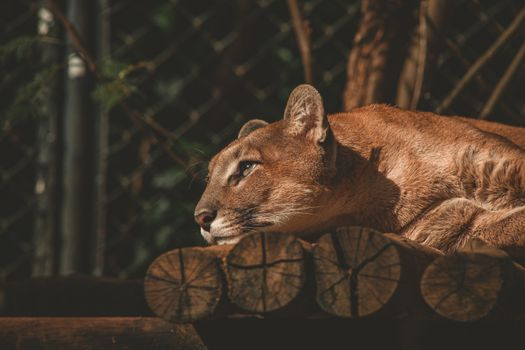 Photo free lion, animals, lies