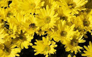 Заставки желтые цветы, пчела, насекомые
