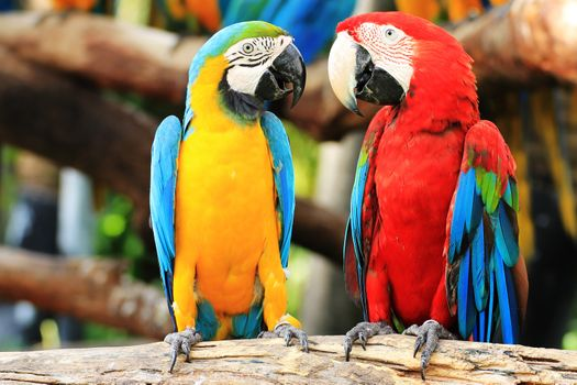 Два попугая Ара · бесплатное фото