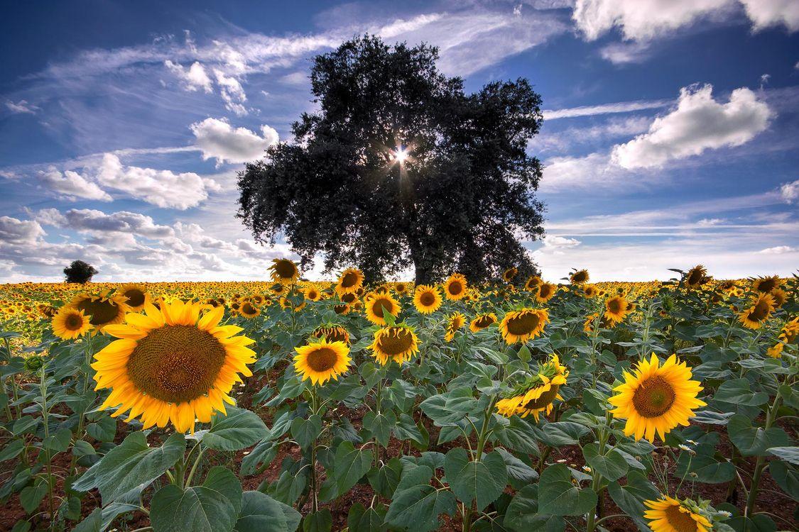 Фото бесплатно поле, подсолнухи, дерево, цветы, флора, небо, облака, природа, пейзаж, пейзажи
