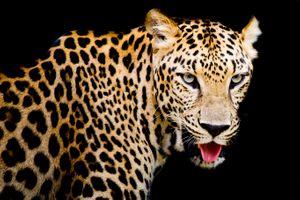 Заставки Leopard portrait, леопард, хищник