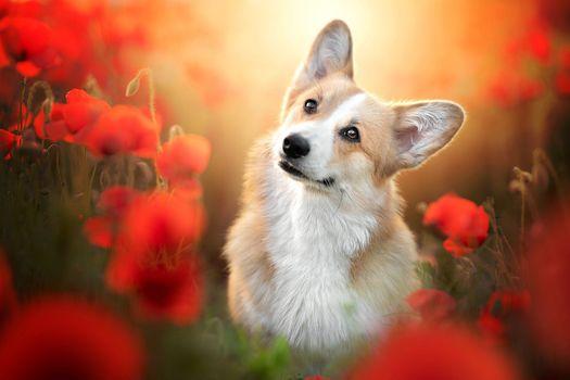 Собака красуется в маках · бесплатное фото