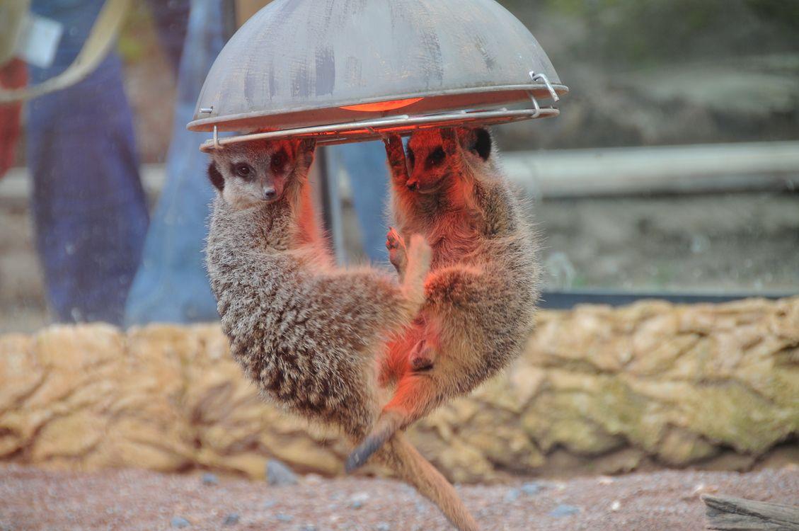 Фото бесплатно Meerkat, весят на люстре, юмор, прикол, Chester Zoo, England, United Kingdom, животные