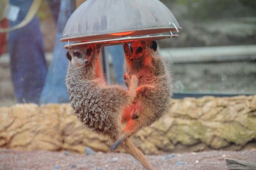 Фото бесплатно Meerkat, весят на люстре, юмор