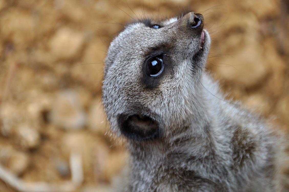 Фото бесплатно Meerkat, крупным планом, Chester Zoo, England, United Kingdom, животные