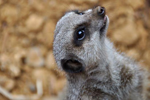 Фото бесплатно Meerkat, крупным планом, Chester Zoo