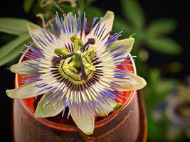 Фото бесплатно Пассифлора, Страстоцвет, Pasionflower, цветок, цветы, флора