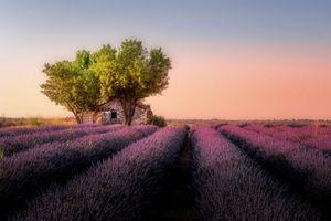 Бесплатные фото поле,лаванда,лавандовое поле,цветы,дерево,домик,закат