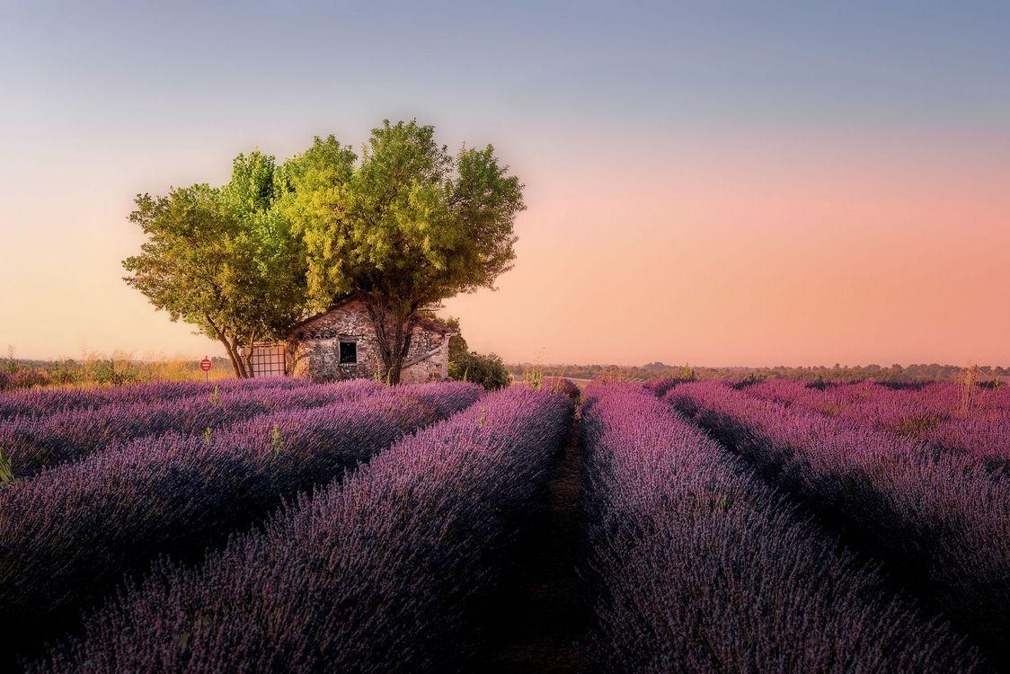 Фото бесплатно поле, лаванда, лавандовое поле, цветы, дерево, домик, закат, восход, Прованс, пейзаж, пейзажи