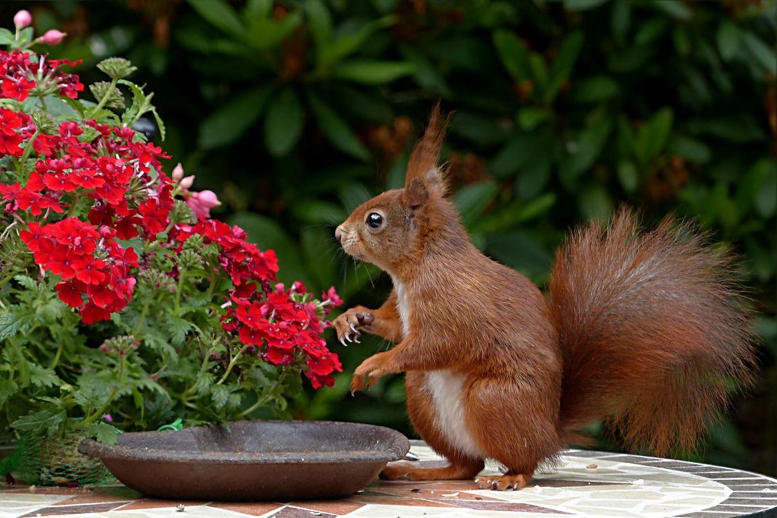 Фото бесплатно белки, красные цветы, грызун - на рабочий стол