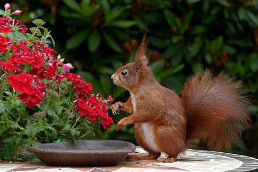 Фото бесплатно белки, красные цветы, грызун