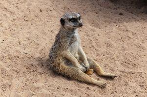 Бесплатные фото meerkat,сидит,на песке,suricate,suricata,suricatta,сурикаты