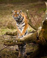 Тигр осматривает территорию