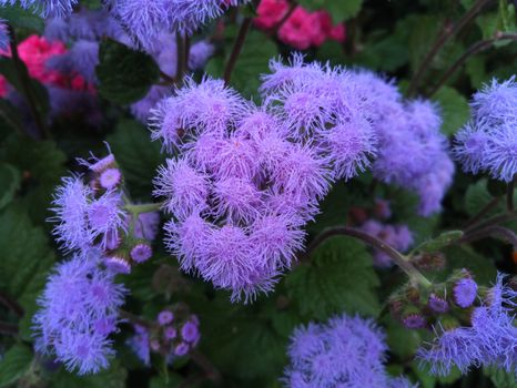 Фиолетовые цветы Агератум