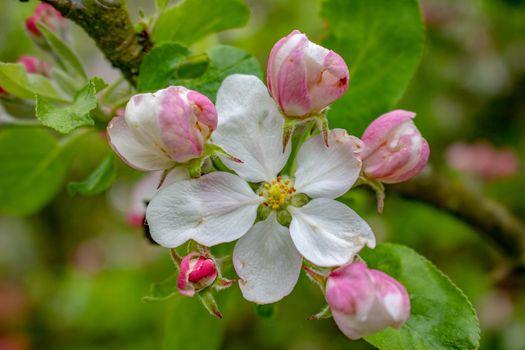 Белая яблоня