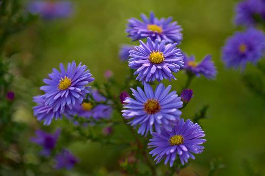 Бесплатные фото Blue Asters,цветок,цветы,флора
