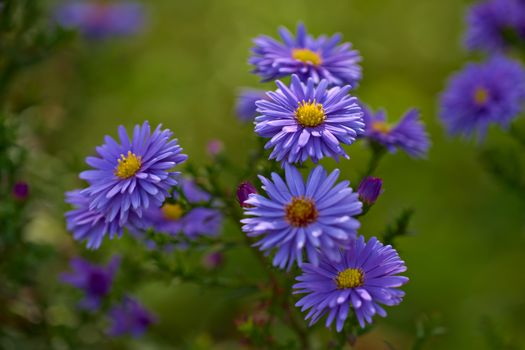 Photo free Blue Asters, flower, flowers