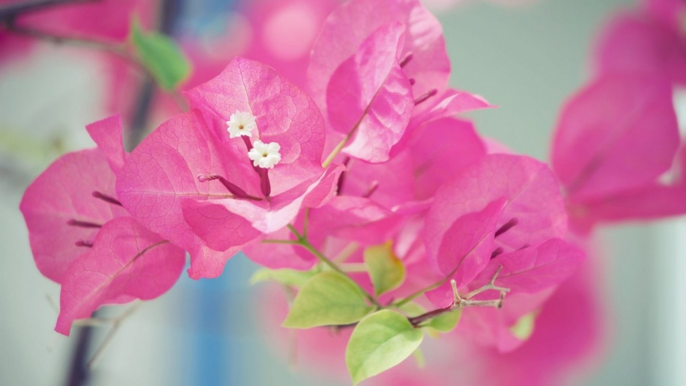 Free photo cvety, rozovyy, bougainvillea - to desktop