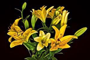 Фото бесплатно черный фон, лилии, флора