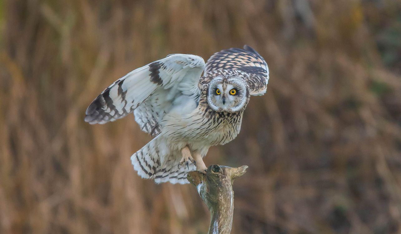 Photos for free Short Eared Owl, owl, predatory night bird - to the desktop