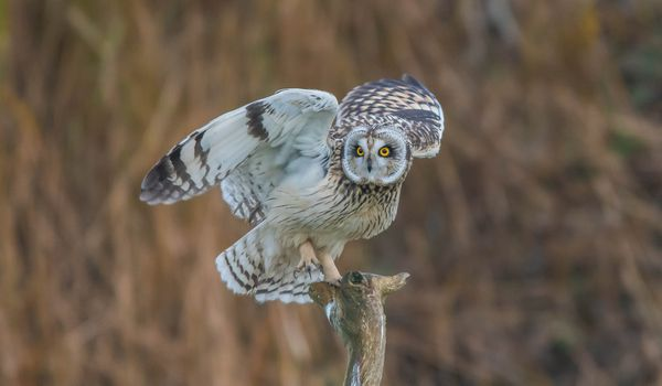 Photo free Short Eared Owl, owl, predatory night bird