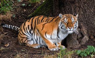 Бесплатные фото тигр,хищник,животное,большая кошка,взгляд