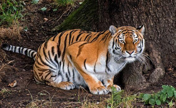 Заставки тигр,хищник,животное,большая кошка,взгляд