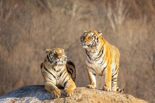 Заставки тигр, отдых, скала