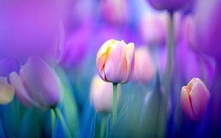 Заставки тюльпаны, макро, цветы