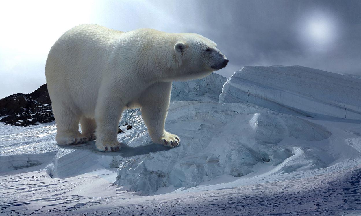 Фото бесплатно Белый медведь, полярный медведь, северный медведь - на рабочий стол